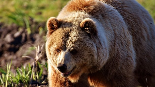 "Результат пошуку зображень за запитом ""розлючений ведмідь"""