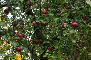 Євросоюзу загрожує дефіцит яблук