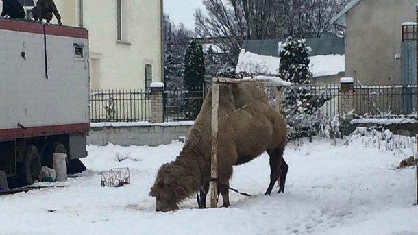 Грузинський цирк кинув свого верблюда на стадіоні на Тернопільщині
