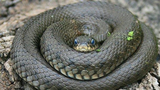 Двоє мешканців Чернівецької області стали жертвами зміїних укусів