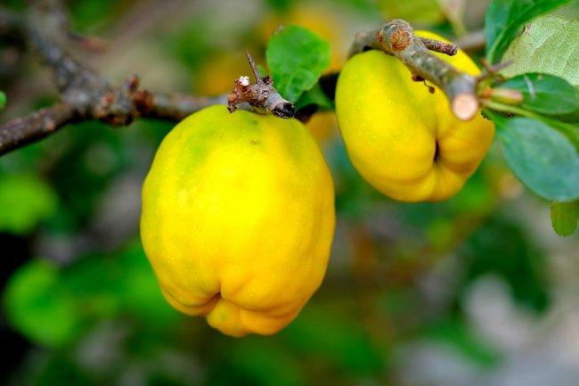 ornamental-quince-2684072_960_720