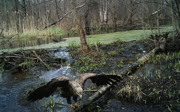 chernobyl-eagle_3464432b