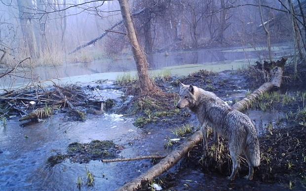 chernobyl-wolf_3464430b